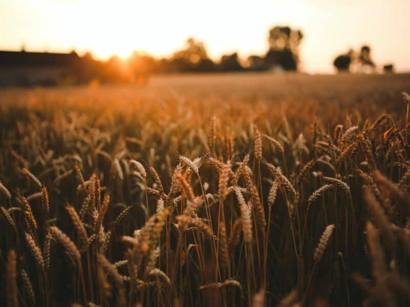 close up view of agriculture and farming at sunset