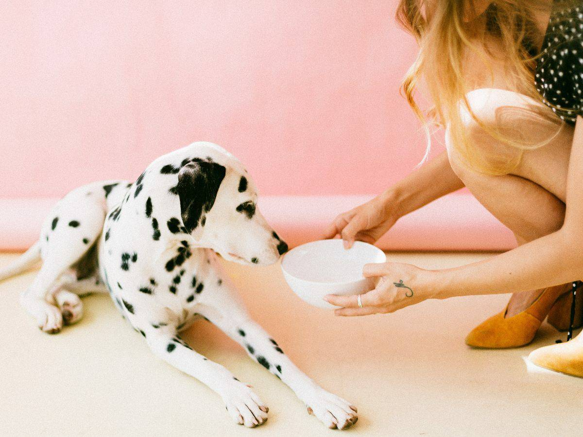 dalmation drinking water from white bowl, pink wall background