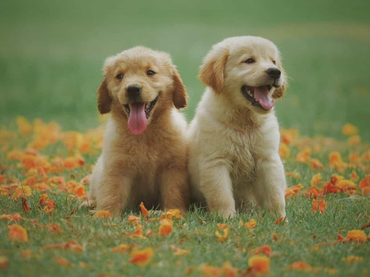 two golden retriever puppies in flowers