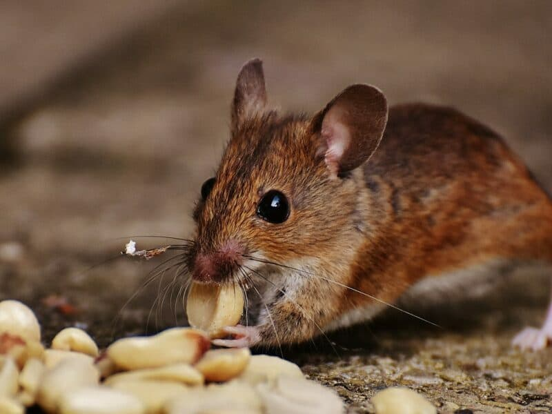 A brown mouse standing on the ground nibbling on a peanut.