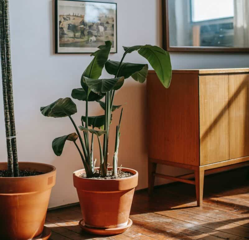 A large potted plant inside of a home with sunlight trickling onto it.
