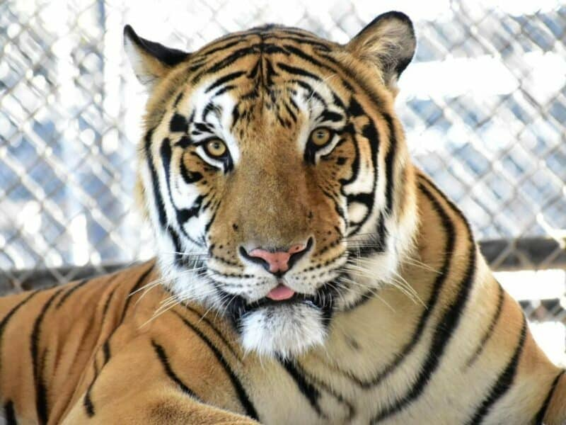 a picture of Odin, a tiger from In-Sync Exotics in Wylie Texas. This Dallas small business offers a wildlife sanctuary as a home to all their rescued cats