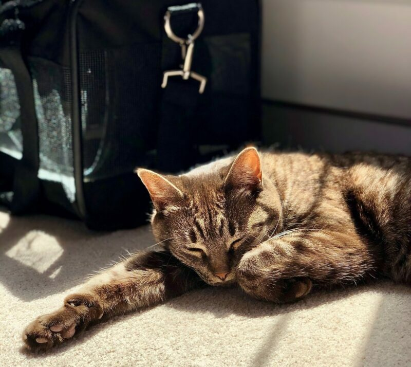A cat is lying down next to a black pet carrier bag.